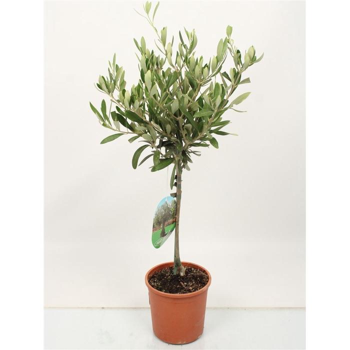 <h4>Olea Europaea Stem</h4>