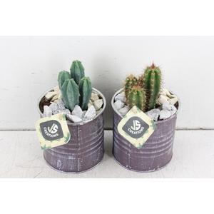arr. JS Cactus - Blik creme