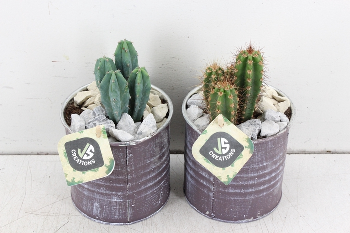 <h4>arr. JS Cactus - Blik creme</h4>