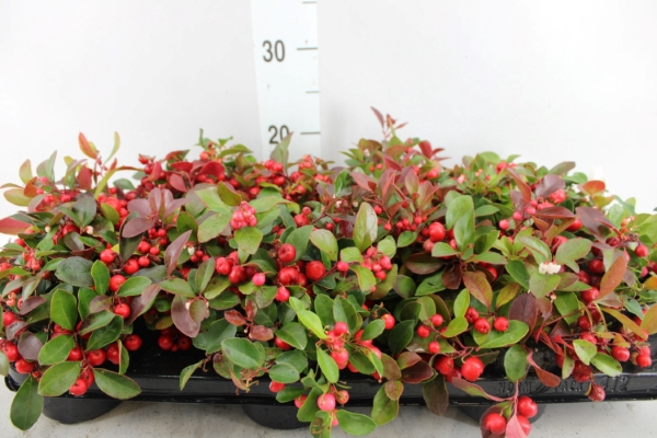 <h4>Gaultheria   ...red berry</h4>
