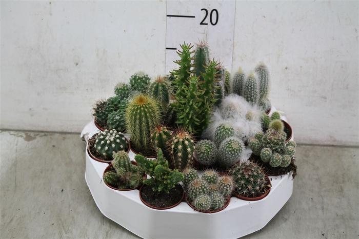 <h4>Cactus Gemengd Rondella</h4>