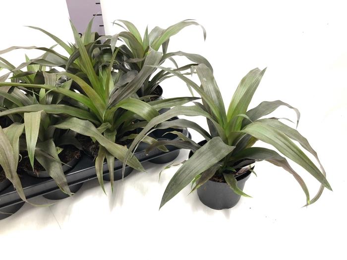 <h4>Ananas 12Ø 30cm</h4>