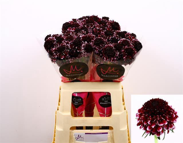 <h4>Scabiosa atropurpurea Sweet Cherry Scoop</h4>