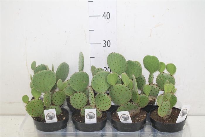 <h4>Opuntia Microdasys</h4>