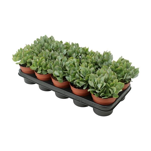 <h4>Crassula arborescens undulatifolia</h4>