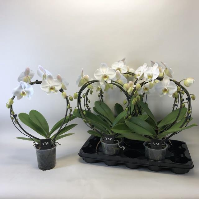 <h4>Phalaenopsis Anthura Leeds 12Ø 50cm</h4>