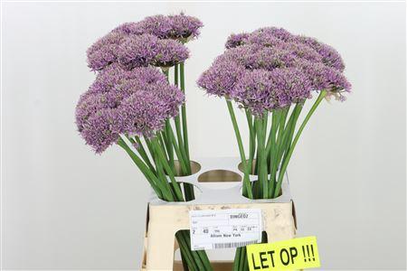 <h4>Allium New York</h4>