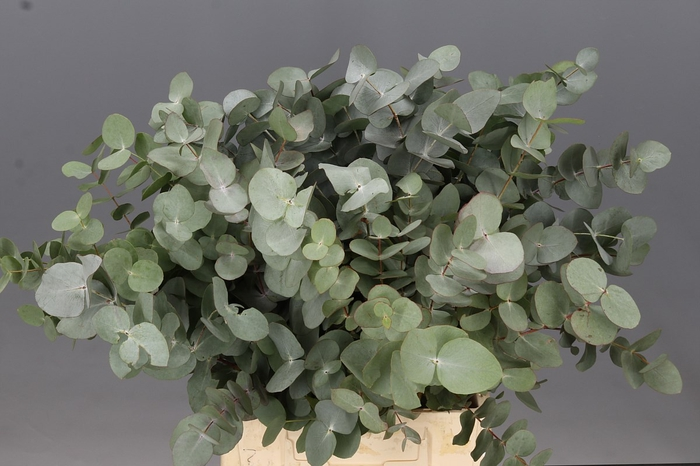 <h4>Eucalyptus Cinerea Air Kort</h4>