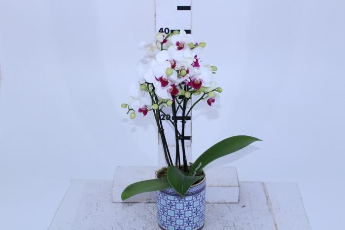 <h4>COQ. PLANTAS ORN. T4</h4>