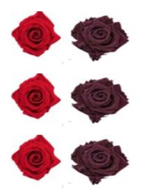 <h4>R Gr Prsv Frank Red - Classic Purple</h4>