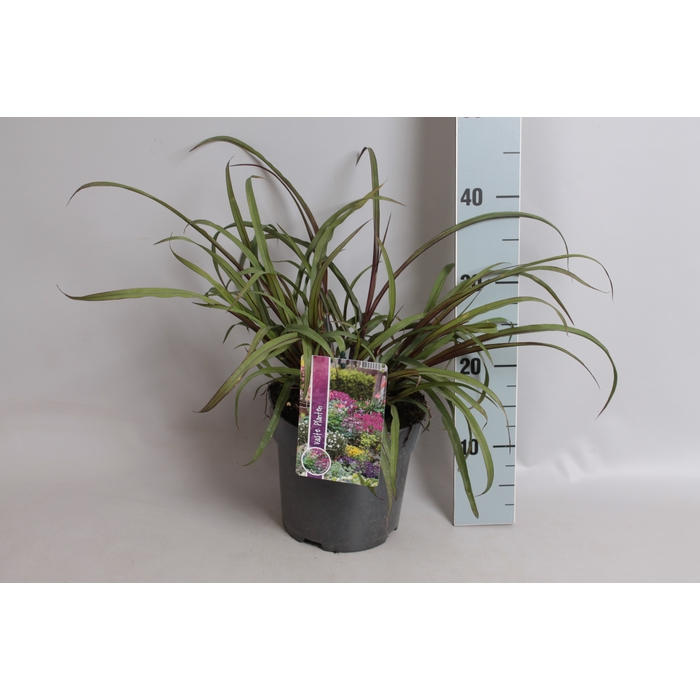 <h4>vaste planten 19 cm  Pennisetum Princess Caroline</h4>