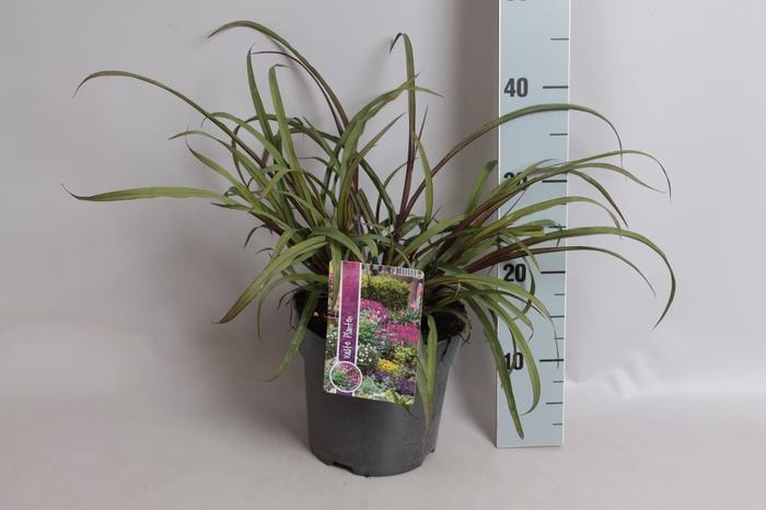 vaste planten 19 cm  Pennisetum Princess Caroline