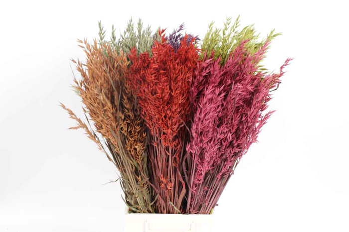 <h4>Avena per bunch Mixed Colours</h4>