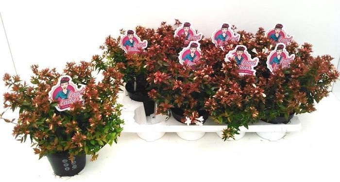 <h4>Abelia x grandiflora Land Ladies White</h4>