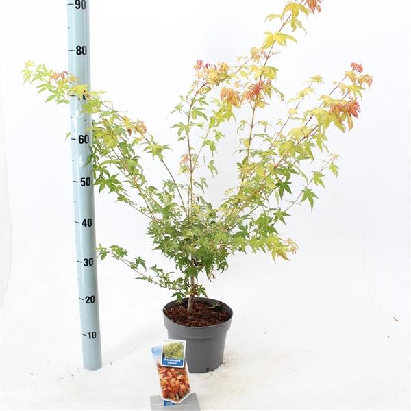 <h4>Acer palmatum 'Katsura'</h4>