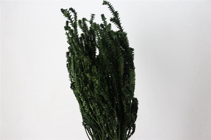 <h4>Pres Green Fern Darkgreen</h4>