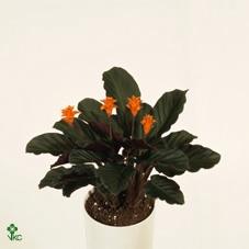 <h4>Calathea Crocata 3-4</h4>