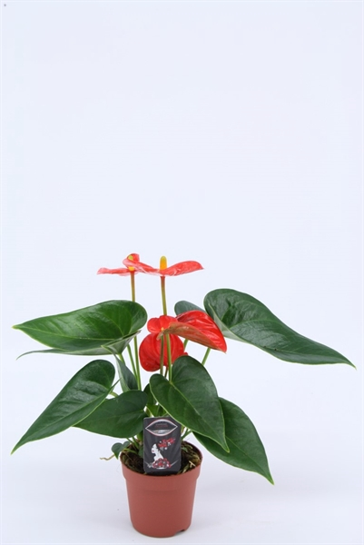 <h4>Anthurium andr. 'Solara'</h4>