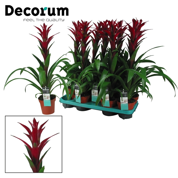 <h4>Guzmania Switch Bordeaux Rood (Decorum)</h4>