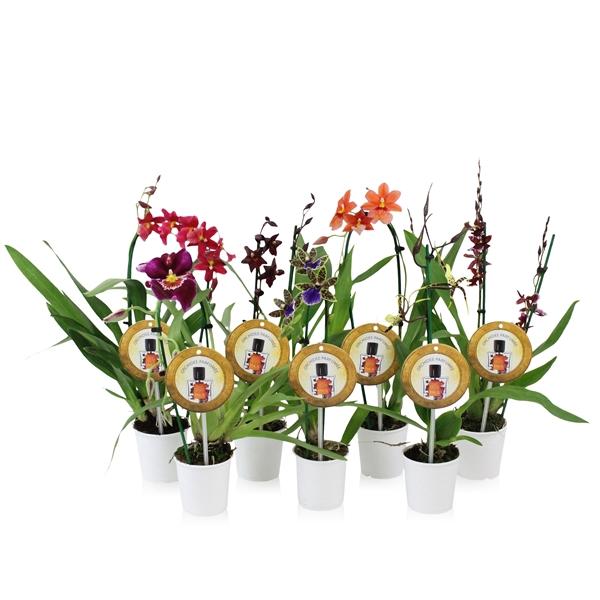 <h4>Orchidee Inca Ryana Parfumee Orchideeën</h4>