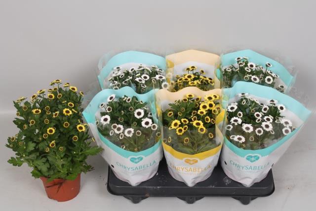 <h4>Chrysanthemum Yin Yang mix 12Ø 26cm</h4>