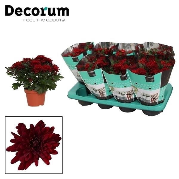<h4>Chrysanthemum Chrystal Red</h4>