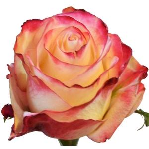 Rosa gr Sweetness (Nevado)