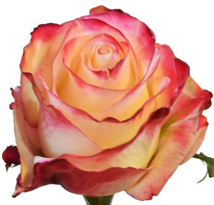 <h4>Rosa gr Sweetness (Nevado)</h4>