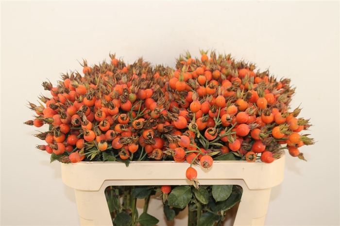 <h4>Rosa Pumpkin Oranje Extra</h4>