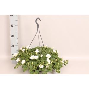 Hangpot 23 cm Petunia Dekko White
