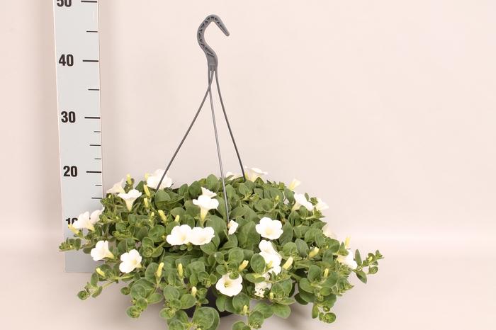 <h4>Hangpot 23 cm Petunia Dekko White</h4>