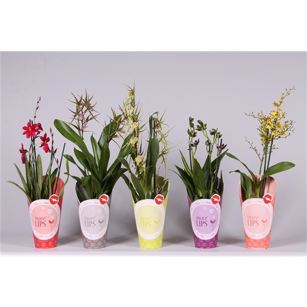 <h4>Orchideeën Mix 2br MoreLips potcover</h4>