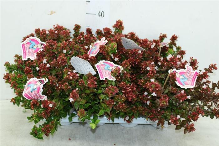 <h4>Abelia X Grandiflora Little Lady Wit</h4>