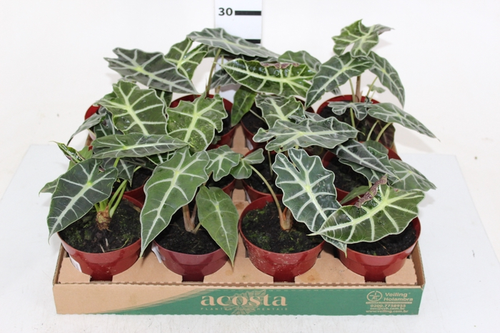 ALOCASIA POLLY P12