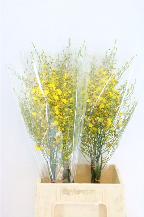 <h4>Golden Wish S</h4>