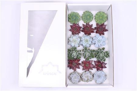 <h4>Echeveria Christmas Mix (wincx) Cutflower</h4>