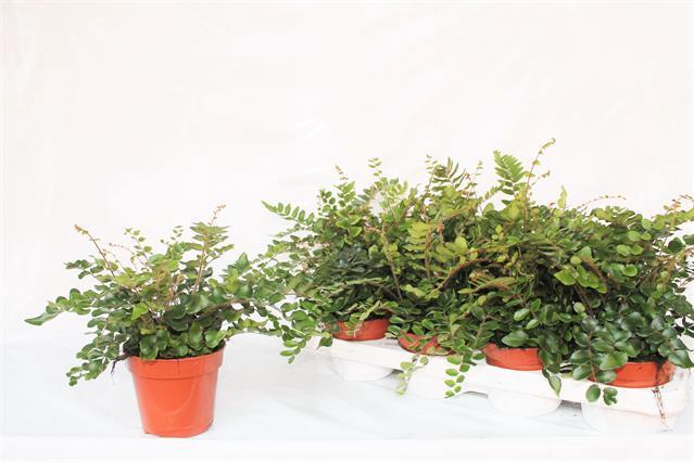 <h4>Pellaea Rotundifolia 12Ø 25cm</h4>