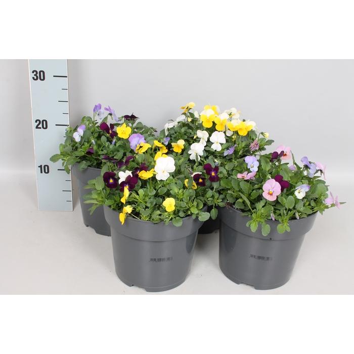 <h4>Viola cornuta mix Diverse soorten</h4>