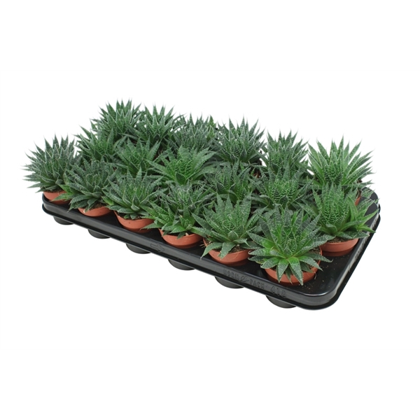 <h4>Aloe Aristata - Premium</h4>