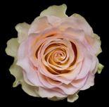 Rosa Gr. DFR88