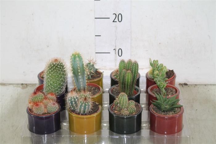 <h4>Cactus Gemengd In Glas</h4>