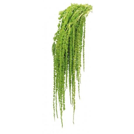 <h4>Amaranthus caudathus verde preservado</h4>