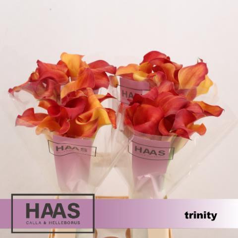 <h4>ZANT CAPT TRINITY</h4>