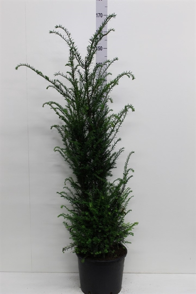 <h4>Taxus baccata   ...</h4>