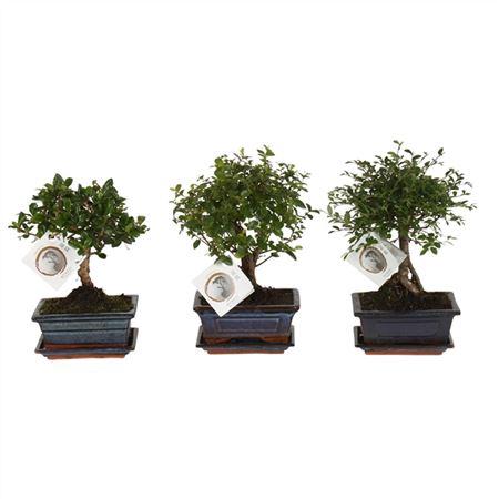 <h4>Bonsai A1151001 Gemengd Keramiek</h4>
