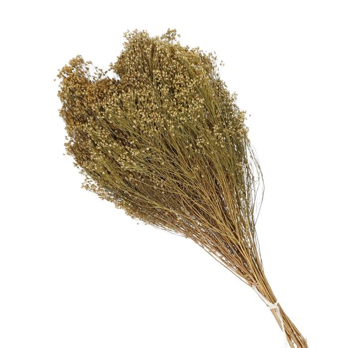 <h4>Droogbloem Broom 70cm 150g</h4>