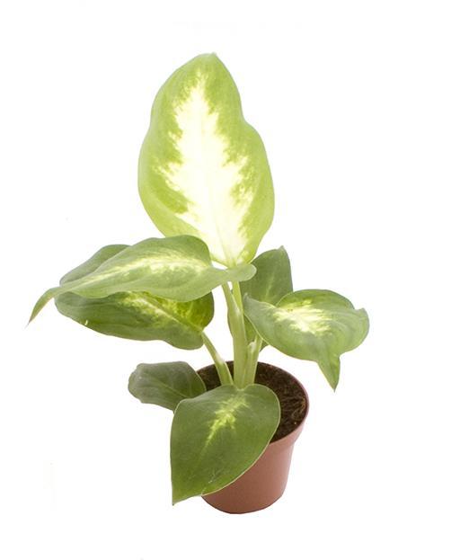 <h4>Dieffenbachia Maculata Camilla 6Ø 15cm</h4>