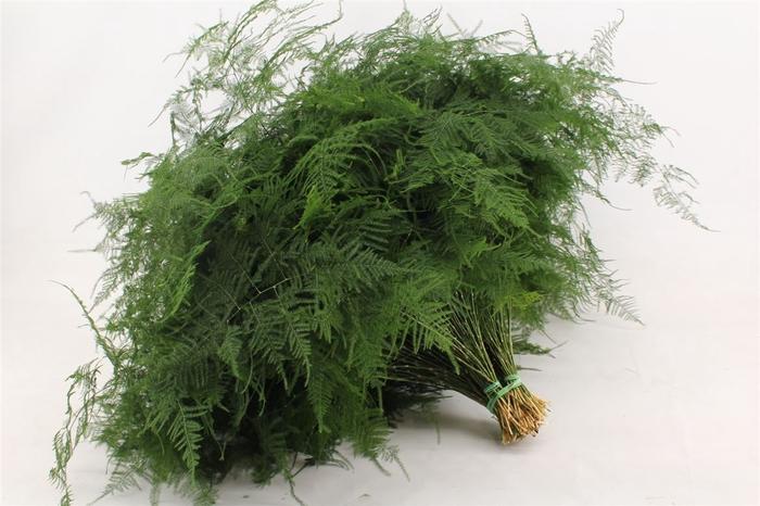<h4>Asparagus Setaceus Extra Veren</h4>