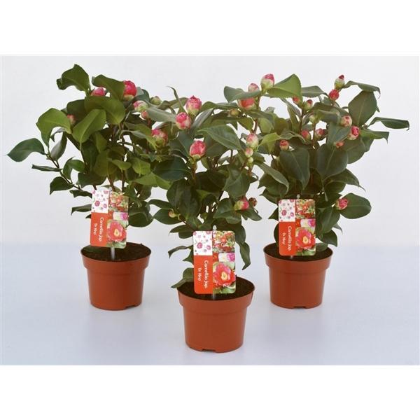 <h4>Camellia Dr King 8-12 knoppen</h4>