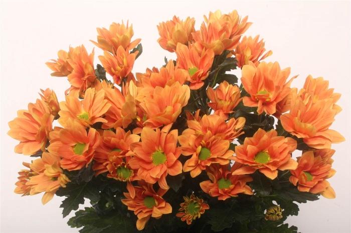 <h4>Chrysant T Grand Orange</h4>